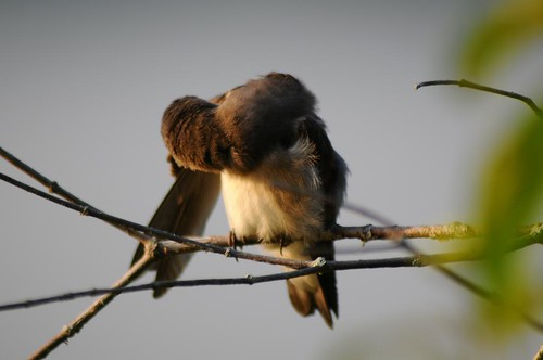 Northern Rough-winged Swallow - Preening