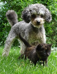 Sheepy + Ruskea (Urs Wachter) Tags: pet baby pets cute cane cat schweiz switzerland kitten feline chat pretty babies suisse tabby kitty gato kitties katze puss gatto aargau kats overload ktzchen chaton urs sheepy wachter gattini httli cat1000 oberkulm llovemypics