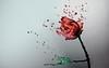 Rosa de agua