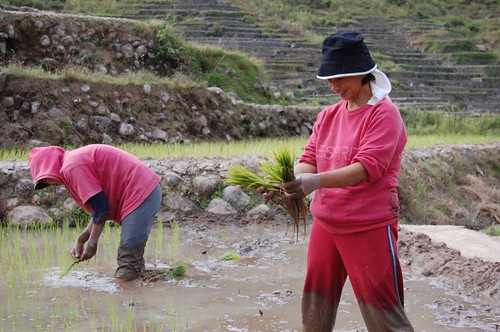 Philippines,Pinoy,Life,city,rural Sagada, Bontoc planting rice farming planting farm farmer workers