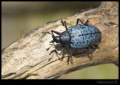 Blue Fungus Beetle (mcruff) Tags: camping arizona mountain bug point back alley forrest beetle canyon hike bark biking rim campground mogollon fungusbeetle unlimitedphotos