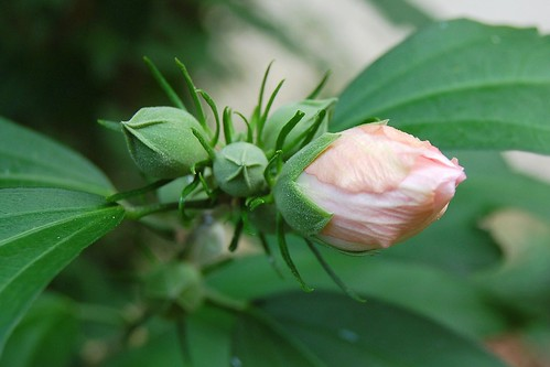 Rose of Sharon bud