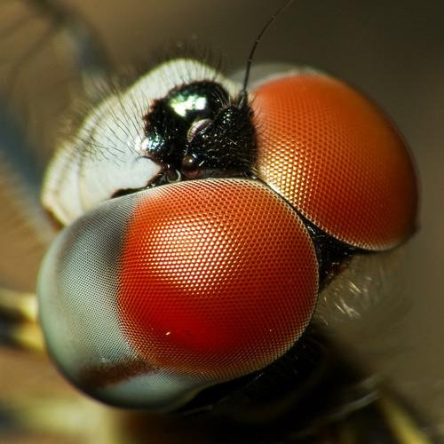 Macro a una libélula