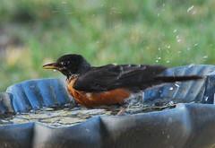 American Robin enjoying bath (Ruthie Kansas) Tags: bird robin backyard loveit american bathing birdwatcher naturelovers naturelover secretlifeofbirds slbbathing thewonderfulworldofbirds