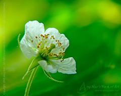Length of Life (Anuj Nair) Tags: poem strawberrytree jamtree cottoncandyberry calabura kewni muntingiacalabura jamaicacherry panamacherry anujnair lengthoflife thenpazham