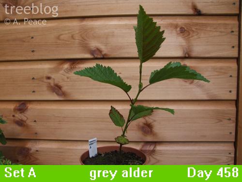 grey alder No. 1