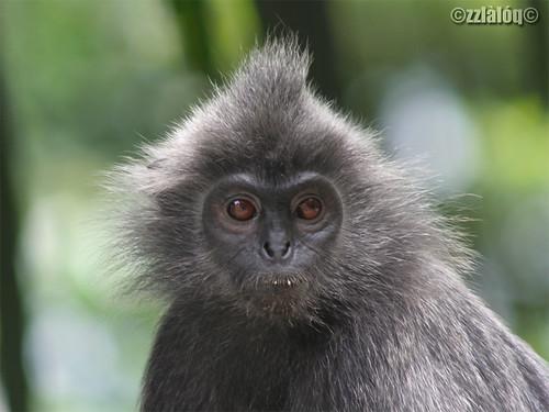 Silver Hair monkey