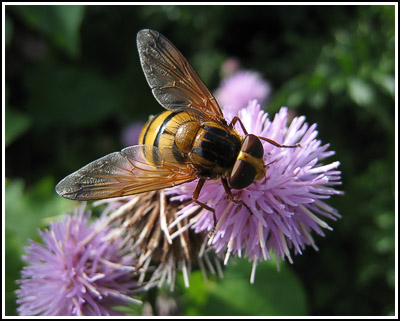 Hoverfly3 copy