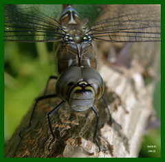 Ugly,, yet Beautiful. (min51) Tags: beautiful face garden insect wings eyes branch dragonfly head awesome ugly blueribbonwinner inspiredbylove macrolicious abigfave platinumphoto anawesomeshot eliteimages theperfectphotographer goldwildlife goldstaraward inspiredbyhim estremita spectacularmacro