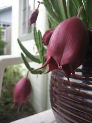Stapelia leendertziae 2 (alkdjfsa) Tags: flower succulent stapelia carrionflower asclepiad stapeliad stapelialeendertziae leendertziae carrionplant succulentasclepiad