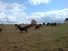 Cows (jenhancock) Tags: australia florafauna