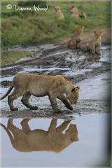 IMG_7987 (Darren Wood) Tags: africa elephant reflection water grass puddle lion safari cheetah savannah grasslands hunt masaimara governorscamp ilmoran