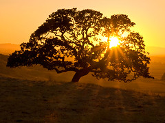 Sunset through oak (MistyDays / CB) Tags: sunset sun west tree silhouette yellow gold golden dance oak dancing olympus flare sonomacounty rays lookingwest sunstar cranecreekregionalpark anawesomeshot e520 highestposition60onsundayseptember282008 highestposition12onmondayseptember292008 highestposition14onmondayseptember292008