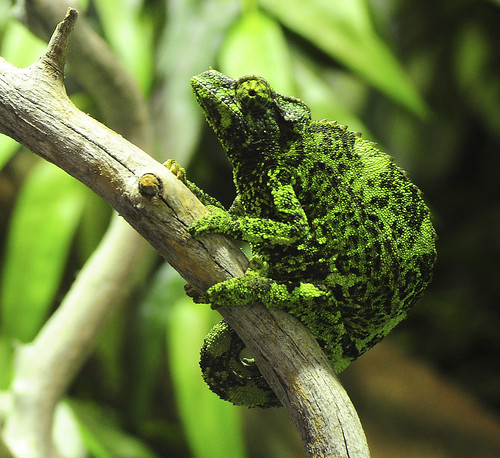 chameleon on Flickr