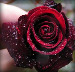 Rose in rain (_David_Meister_) Tags: red flower macro rot rain rose catchycolors drops drop raindrops makro regen tropfen regentropfen macrophotosnolimits