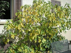 Feigenbaum in den Herbstfarben