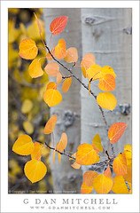 Aspen Leaves, North Lake (G Dan Mitchell) Tags: autumn red orange usa lake mountains fall nature leaves yellow creek forest gold colorful branch grove nevada north stock sierra foliage trunk aspen range bishop califoria induro gdanmitchell