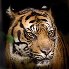 King of the jungle (iPhotograph) Tags: animal wow geotagged zoo searchthebest stuttgart tiger carlos sumatrantiger mb wilhelma pantheratigris 70200mmf28gvr d2hs supershot tc17eii pantheratigrissumatrae platinumphoto anawesomeshot isawyoufirst goldstaraward itsazoooutthere vosplusbellesphotos geo:lat=4880740858992688 geo:lon=920392263927917