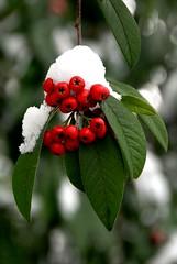it's Beginning To Look A Lot Like Christmas (Vesuvianite) Tags: snow berries redandgreen kartpostal anawesomeshot rubyphotographer