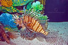 Beautiful Fish (thejeffreywscott) Tags: vacation fish tampa aquarium florida lionfish floridaaquarium floridapark floridaattraction beautifulfish