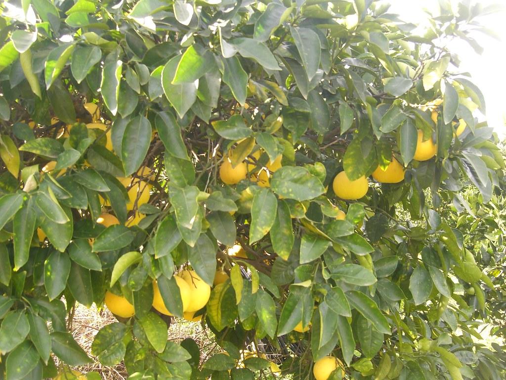 grapefruit fournes hania chania
