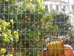 mandarin tree fournes hania chania