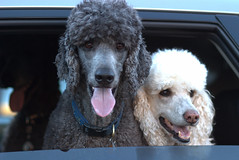 Thanks Tracy (Layla 'n Pip) Tags: pip pete layla flickrmeetup playdate standardpoodle poudrecanyon hewlettgulch tracyoutwest
