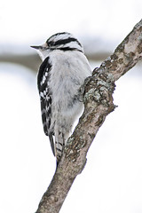 Woodpecker (MCV Photo & Video) Tags: snow bird birds newjersey woodpecker bokeh wildlife snowing downy birdwatching birdwatcher minehill beautifulbirdbokeh birdsphotos canon40d birdsinsideandoutside birdsinsideandout wildlifecloseup canon300mm4lis thewonderfulworldofbirds
