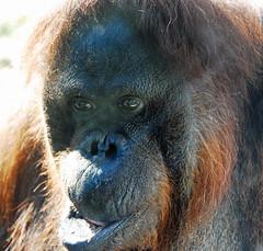Orangutan 2 (Ruthie Kansas) Tags: friends animal zoo loveit orangutan primate