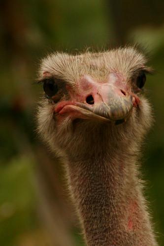Hello, Ostrich!