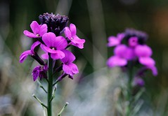 Winter's Tale (@Doug88888) Tags: pictures camera uk pink winter england blur flower color colour nature digital canon garden happy eos stem colorful purple natural bright image blossom bokeh pair united picture kingdom images petal devon buy bloom mauve colourful dslr 2009 purchase tale winters sidmouth bowles happynewyear erysimum shakepeare 400d doug88888