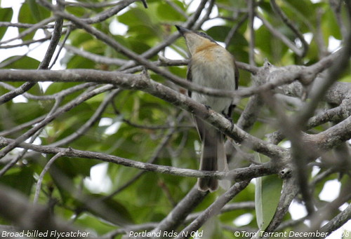 Broad-billed Flycatcher (Myiagra ruficollis) by aviceda.