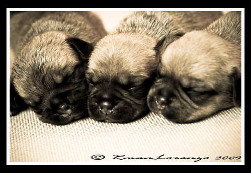 The Baby Puggles
