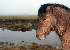In the rain. (Fjola Dogg) Tags: horse cold wet water rain animal caballo cheval iceland islandia cavallo cavalo pferd kuda sland hest hevonen paard  hst ceffyl   galope  l ko arklys icelandichorse perd zaldi  k konj hobune   capall zirgs  iemel k farasi nga  equum  fjoladogg