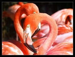 Unusually Beautiful... (~ Bron ~) Tags: zoo flamingo fortworth visualart fortworthzoo zooanimals enjoylife inspiredbylove fineartphotos golddragon mywinners sensationalphoto