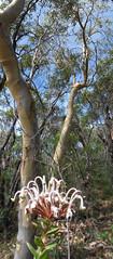 Scribbly gums with Grevillea (LSydney) Tags: panorama macro tree grevillea spiderflower scribblygum manlydam grevilleabuxifolia vertorama arborama