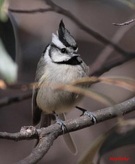 IMG_8953X (tinyfishy (Storage Site Only)) Tags: titmouse bridle bridled