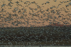 Landing Snow Geese at Bosque del Apache (cindycseri) Tags: bosquedelapache snowgeese masslanding