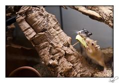 gerbilles1821 (kactusficus) Tags: gerbil rodent gerbille rongeur