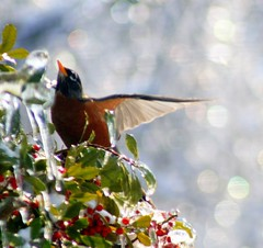 Taking Flight (mightyquinninwky) Tags: bird ice berries bokeh award holly ave invite americanrobin invited awarded mywinners mywinner bestofformyspacestation
