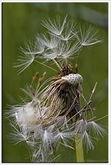 After Blowjob done (Thomaniac) Tags: flower macro green closeup canon eos flora natur dandelion grün blume nahaufnahme löwenzahn pusteblume efs60mmmacro lens00025 450d thomaniac