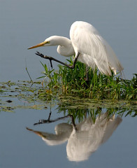 Fancy Reflections (Wayne Nelson) Tags: herons egrets greategrets wadingbirds