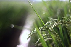 Expecting a good harvest (joka2000) Tags: morning light dof rice bokeh dew droplet ricefield planar