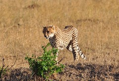 Cheetah: Masai Mara (One more shot Rog) Tags: cats cat big kenya spots cheetah bigcats cheetahs masaimara masamara bigflickr