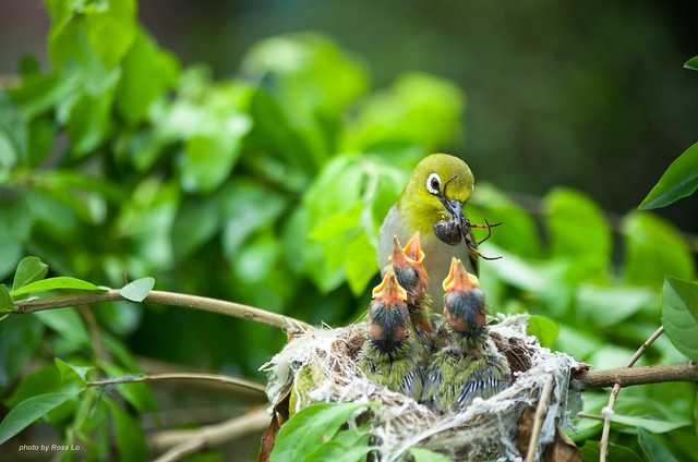 綠繡眼~天下父母心