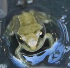 Garden Froglet (Teapot Taylor) Tags: amphibian frog froglet pondlife gardenwildlife