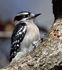 Downy Woodpecker (female) (Bill D114) Tags: bird nature birds backyard woodpeckers downy soe downywoodpeckers backyardbeauty instantfav backyardnature mywinners impressedbeauty avianexcellence birdsphotos theperfectphotographer goldwildlife natureselegantshots