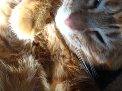 Orange Fluffy Kitty (ginfox) Tags: sleeping orange cat paw tabby kitty catface