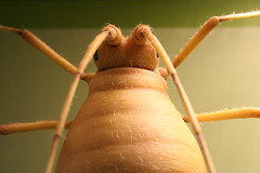 Authority (Everest Ruby) Tags: hairy bug insect small creepy creature longlegs