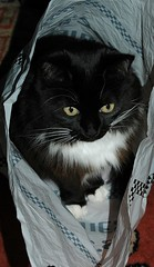 Alert Kitty in a See's Candy Bag (Shawn's Kitty (Busy Healing!)) Tags: cat happy kitty bagkitty mywinners seescandybag